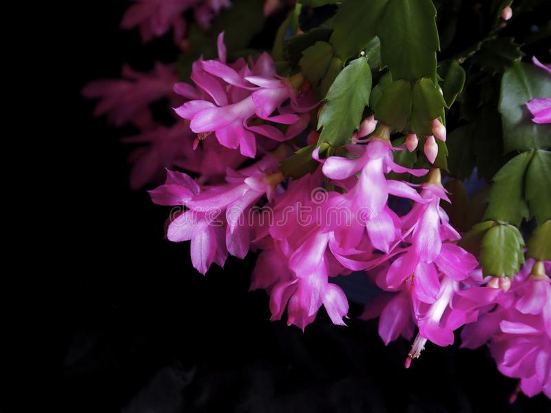 Magentarote Weihnachtskaktuss-oder Schlumbergera-Spezies stockfoto