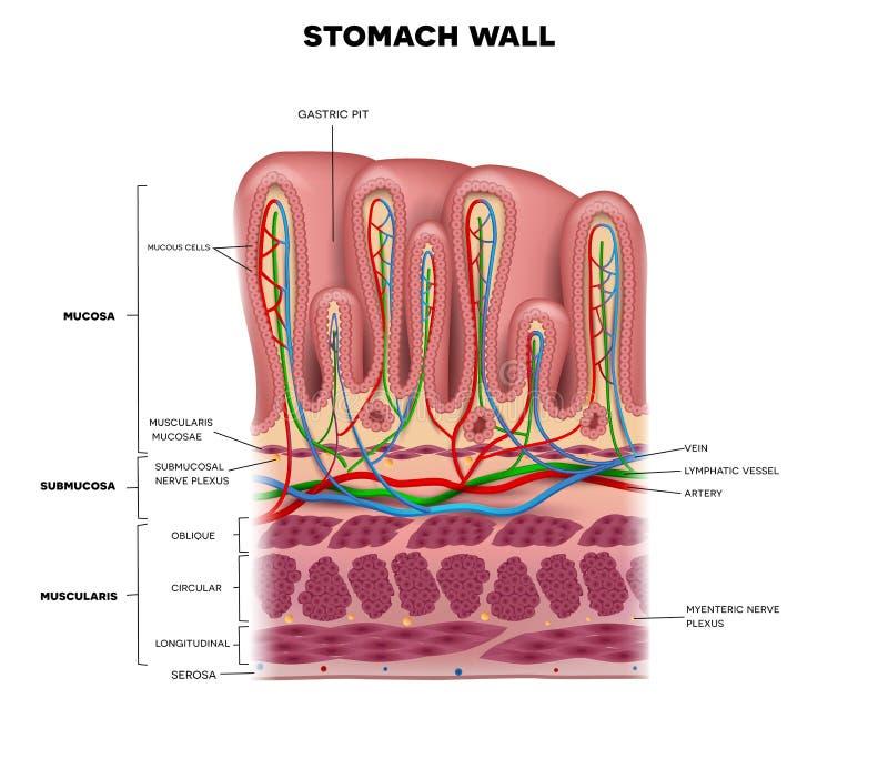 Magenwand stock abbildung