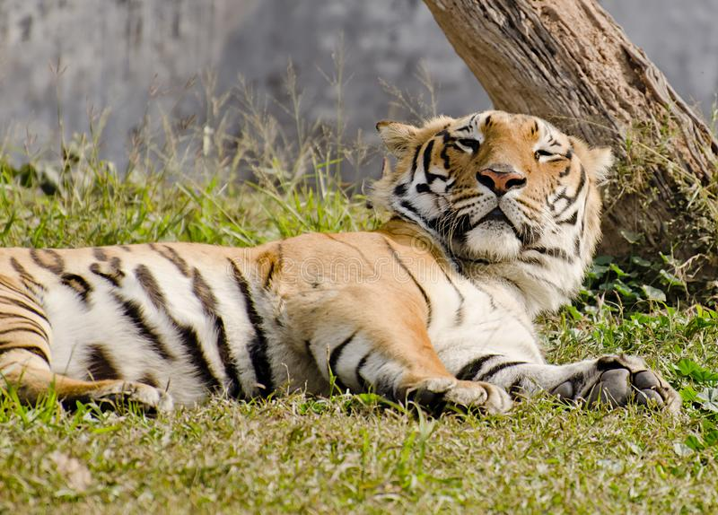 A magestic bengal tiger napping. In afternoon nap at zoo stock photos