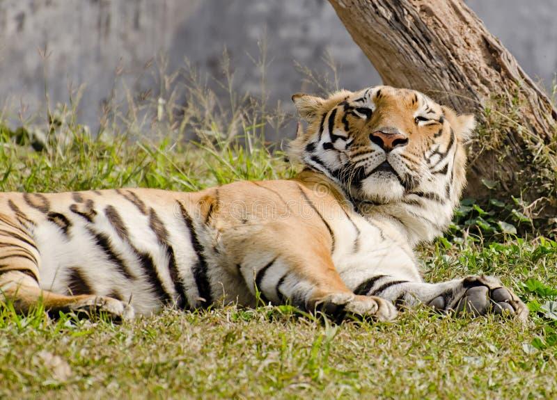 Magestic ta sig en tupplur för bengal tiger arkivfoton