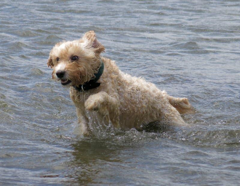 Maggie at Brighton Dog Beach royalty free stock photo