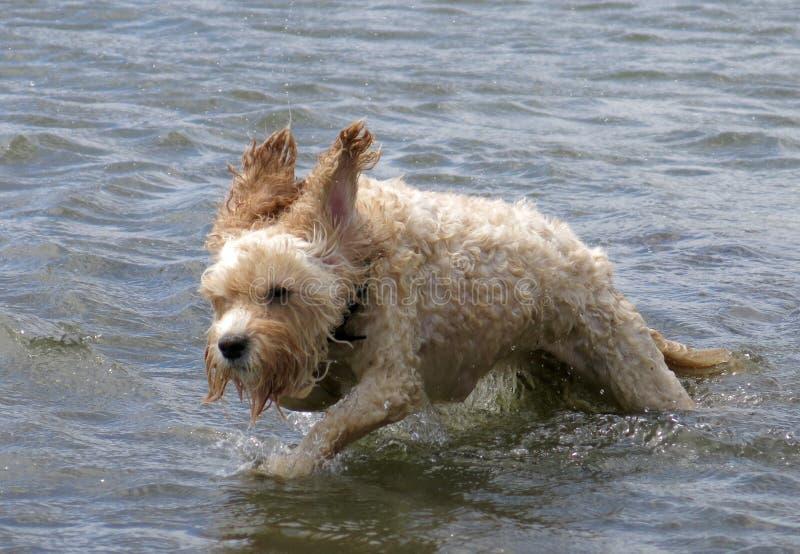 Maggie at Brighton Dog Beach royalty free stock photos