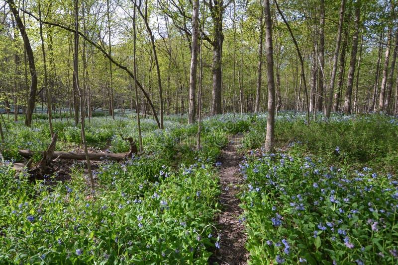 Maggio Bluebell Forest Fantasy fotografia stock