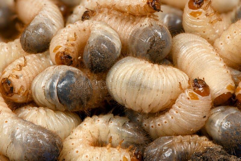 Maggiolino della larva immagini stock libere da diritti