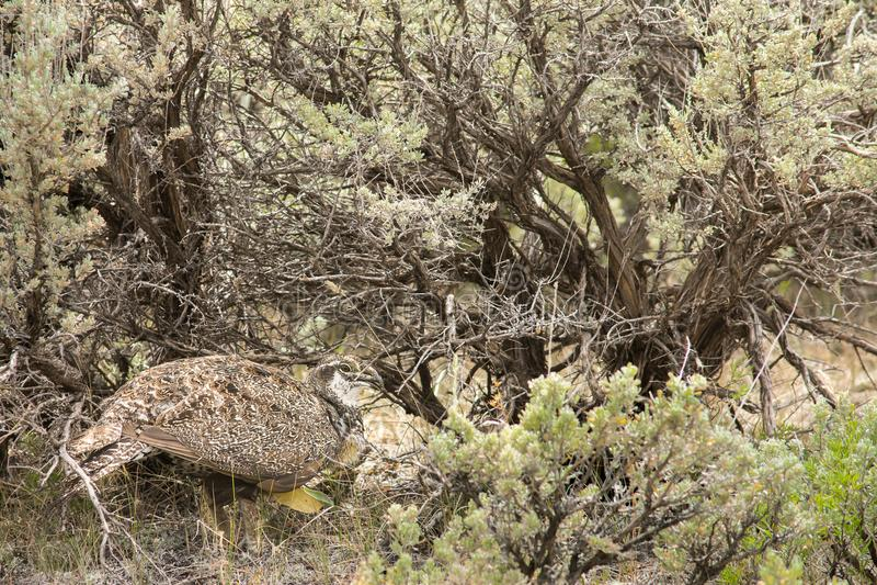Maggior artemisia di Sage Grouse Hen Hiding In immagine stock libera da diritti
