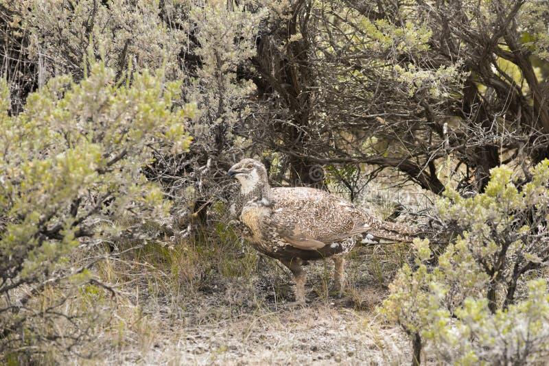 Maggior artemisia di Sage Grouse Hen Walking In immagini stock libere da diritti