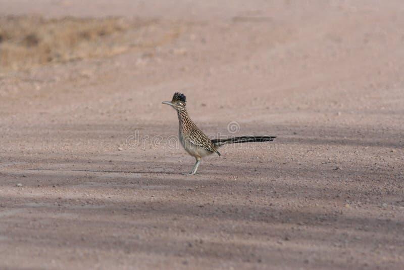 Maggior californianus del Geococcyx del Roadrunner fotografia stock