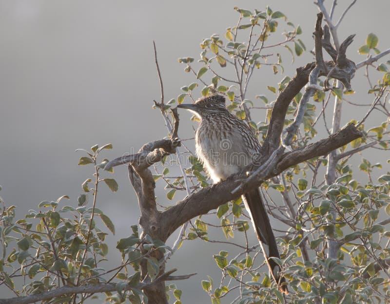 Maggior californianus del Geococcyx del Roadrunner che si siede in un albero fotografie stock libere da diritti