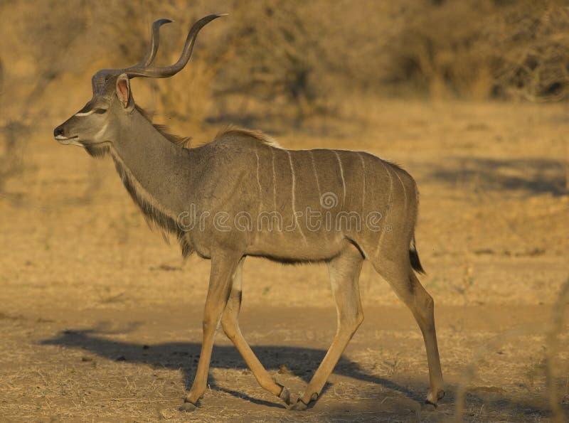 Maggior camminata di Kudu (strepsiceros del Tragelaphus) fotografia stock libera da diritti