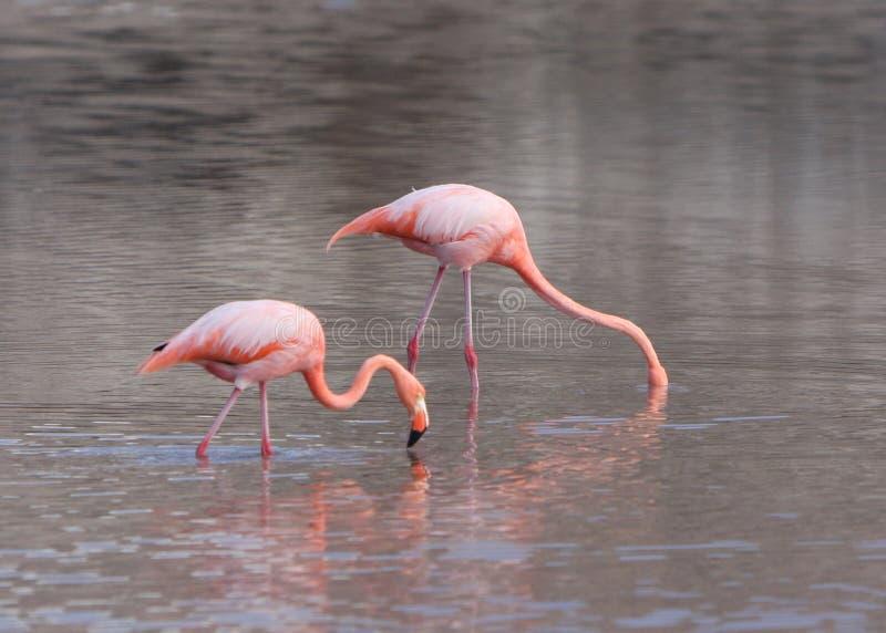 Maggior cibo dei fenicotteri del Galapagos fotografia stock libera da diritti