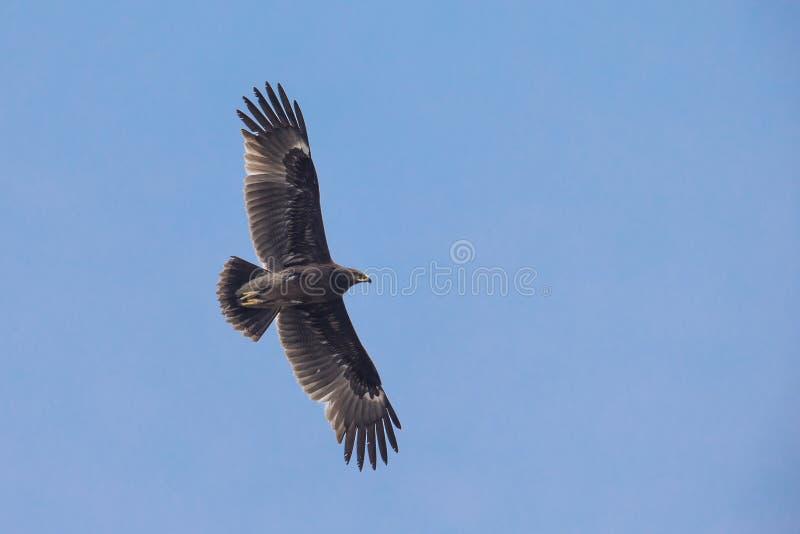 Maggior Eagle macchiato fotografie stock libere da diritti