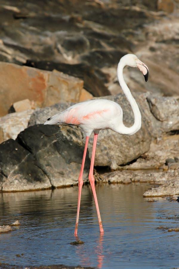 Download Maggior fenicottero fotografia stock. Immagine di flamingo - 7314504