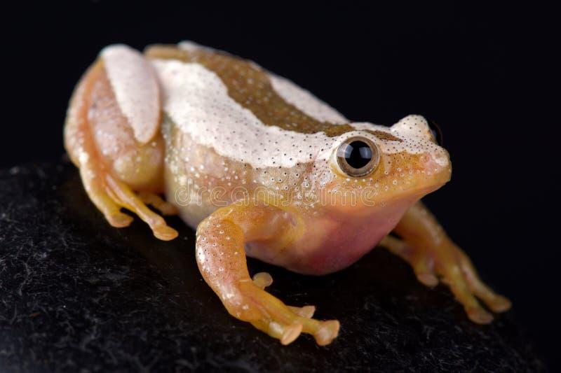 Maggior fornasini di Afrixalus della rana del foglio pieghevole immagini stock