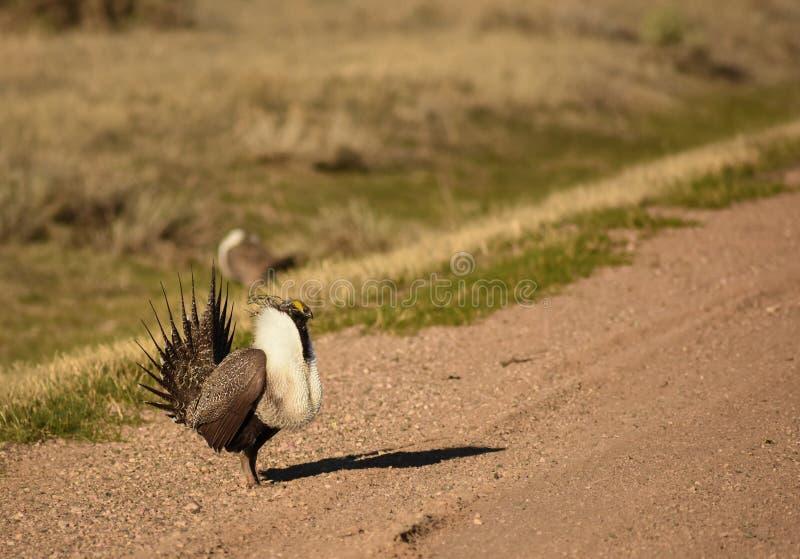 Maggior habitat naturale di Sage Grouse Wild Birds In fotografia stock