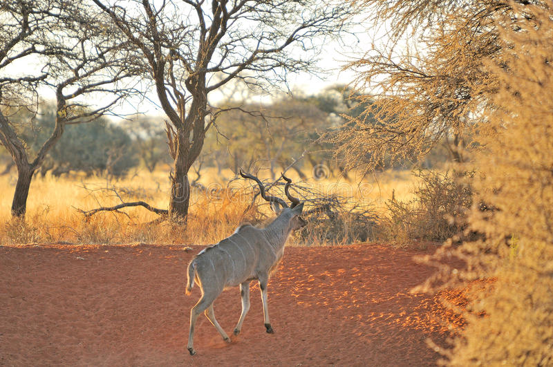 Maggior Kudu Bull fotografia stock