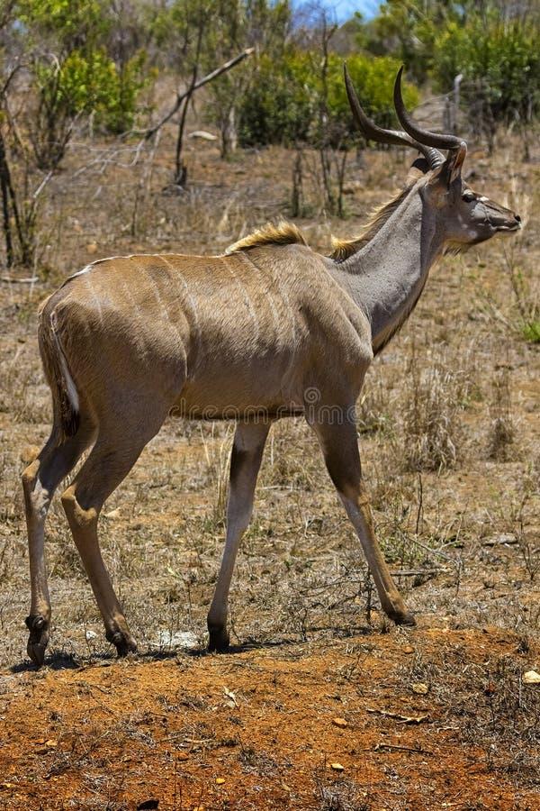 Maggior Kudu, parco nazionale di Kruger immagini stock libere da diritti