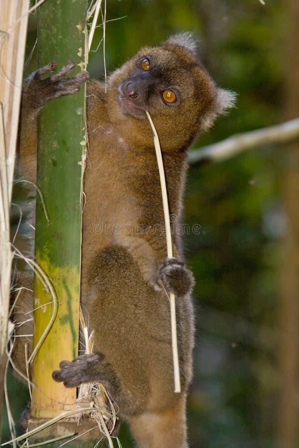 Maggior Lemur di bambù fotografia stock libera da diritti
