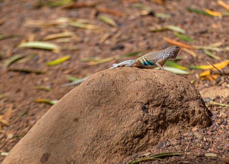 MAGGIOR LUCERTOLA EARLESS, texanus di Cophosaurus, su roccia nel deserto dell'Arizona fotografie stock libere da diritti