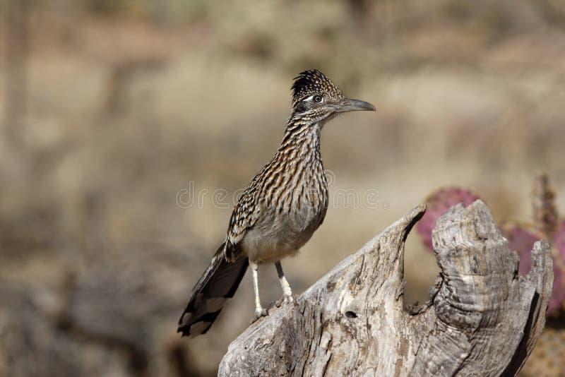 Maggior roadrunner, californianus del Geococcyx fotografie stock libere da diritti