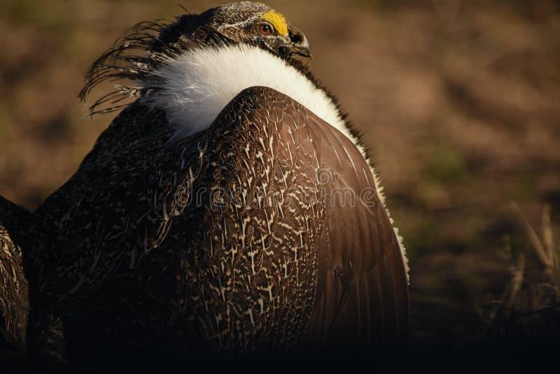 Maggior Sage Grouse Beautiful Detail Ruff e piume cape, soffiati su fotografia stock libera da diritti