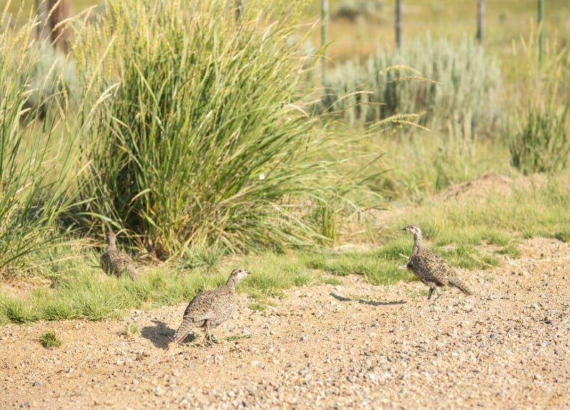 Maggior Sage Grouse Hen With Chicks fotografie stock libere da diritti