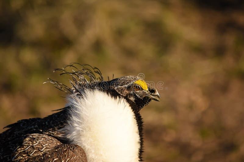 Maggior Sage Grouse Male Closeup fotografia stock