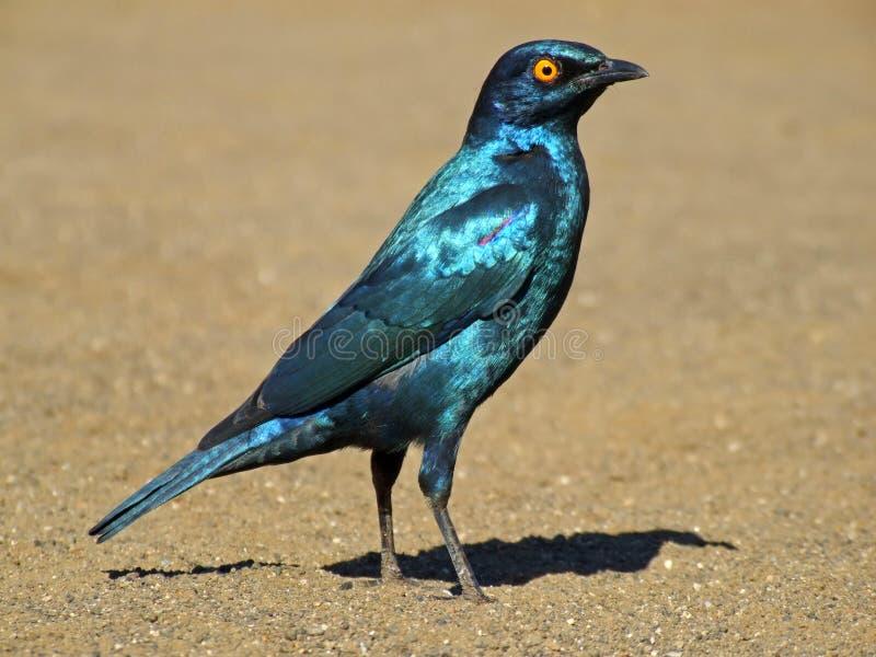 Maggior starling blu-eared fotografie stock libere da diritti