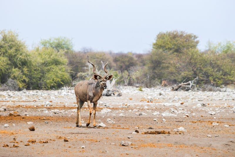 Maggior toro di kudu che cammina nella savanna africana fotografie stock libere da diritti