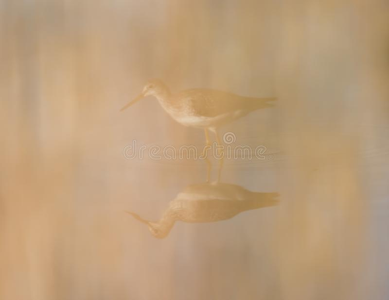 Maggior yellowlegs vago fuori dalle erbe alte della priorità alta mentre camminando e cercando nelle zone umide di area della fau fotografie stock