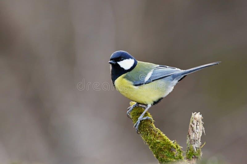 Maggiore del Parus, cinciarella Paesaggio della fauna selvatica fotografia stock