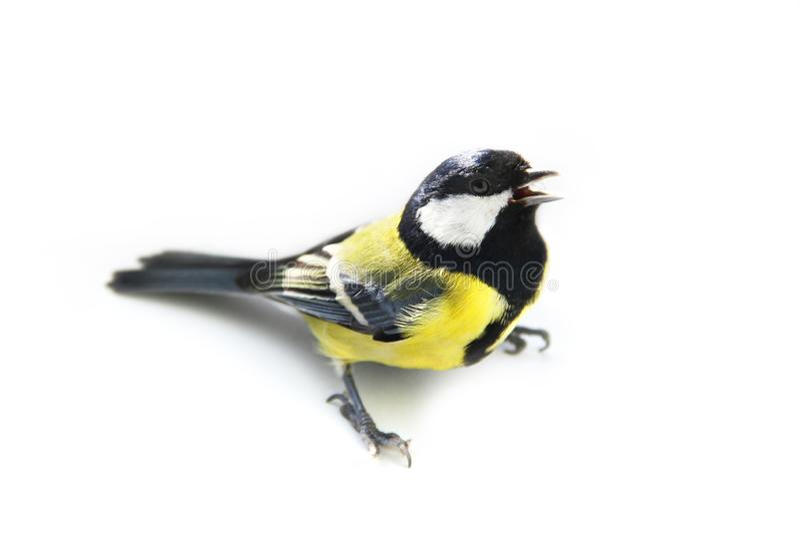 Maggiore del Parus Uccello su un fondo bianco fotografie stock