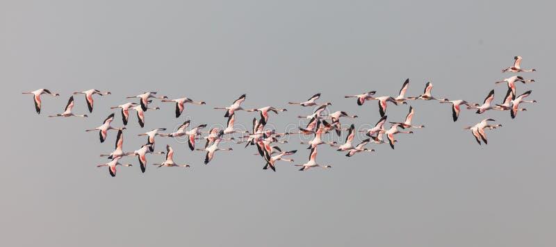 Maggiori fenicotteri fotografie stock libere da diritti