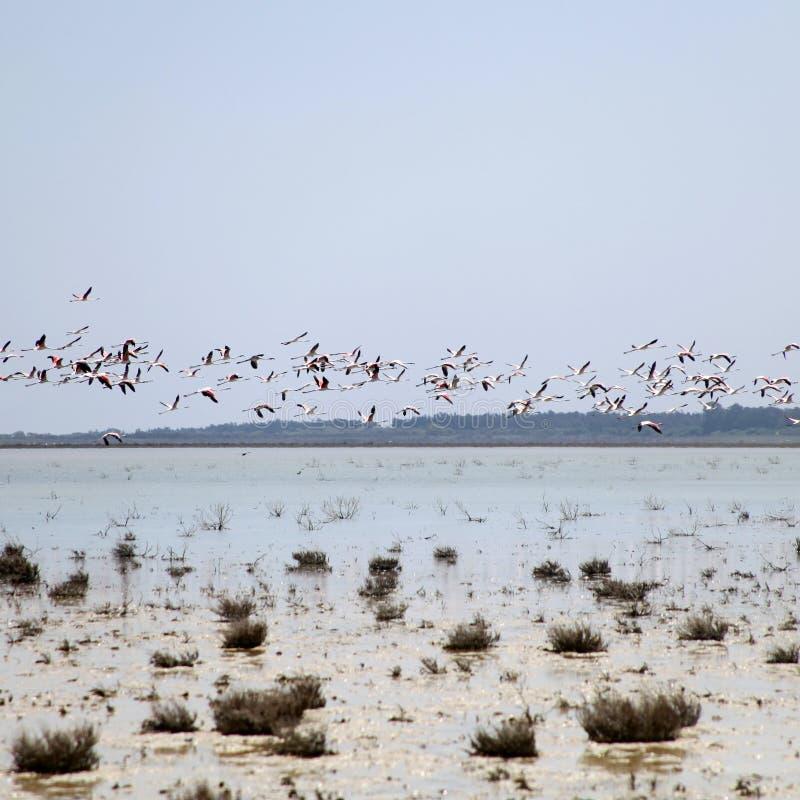 Maggiori fenicotteri in volo sopra Salt Lake in Cipro fotografia stock libera da diritti