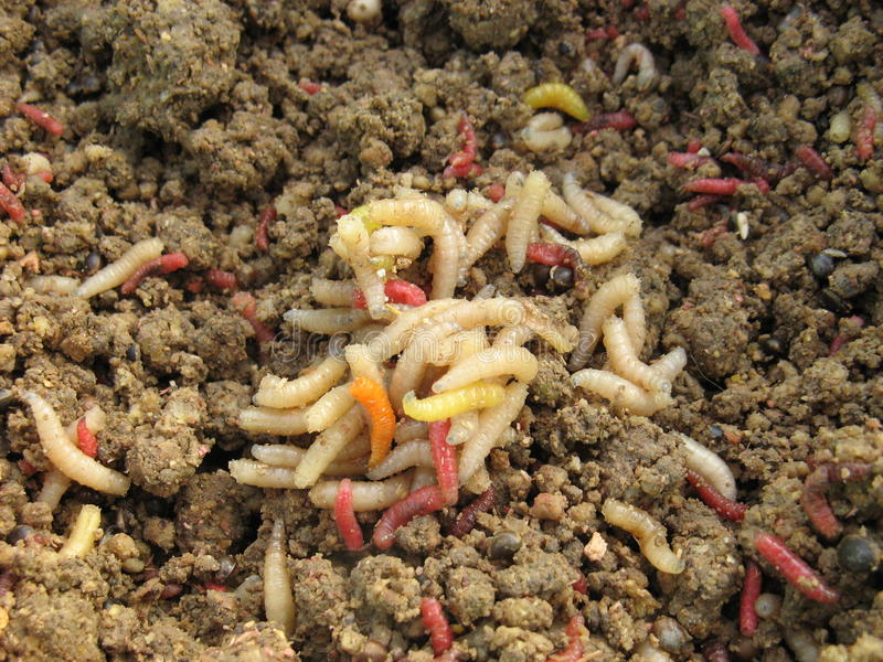 maggots arkivfoto