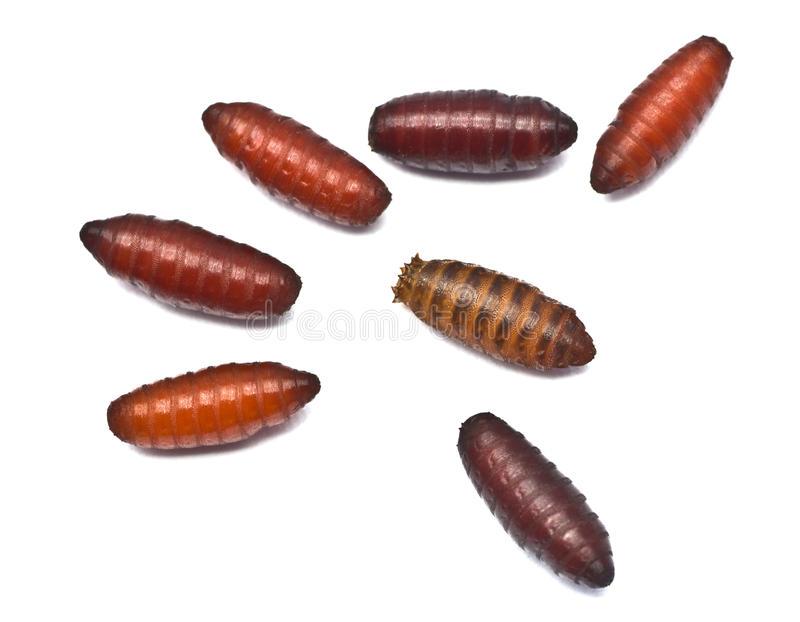 Download Maggots in pupa stage stock image. Image of cocoon, stage - 26207601