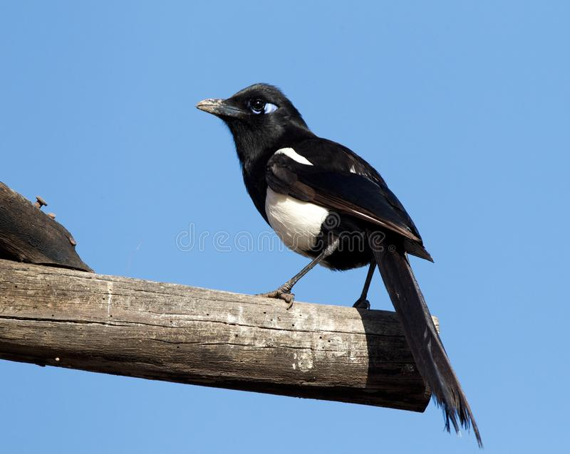 Maghreb Ekster, Maghreb Magpie, Pica mauritanica. Maghreb Ekster zittend; Maghreb Magpie perched royalty free stock photo