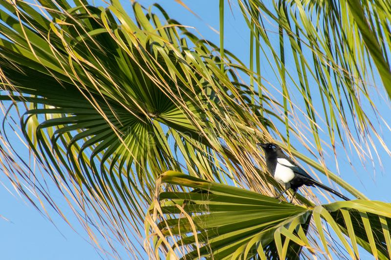 Maghreb magpie Pica mauritanica in a tropical palm tree, Agadir, Morocco. Blue eyeshadow distinctive royalty free stock image