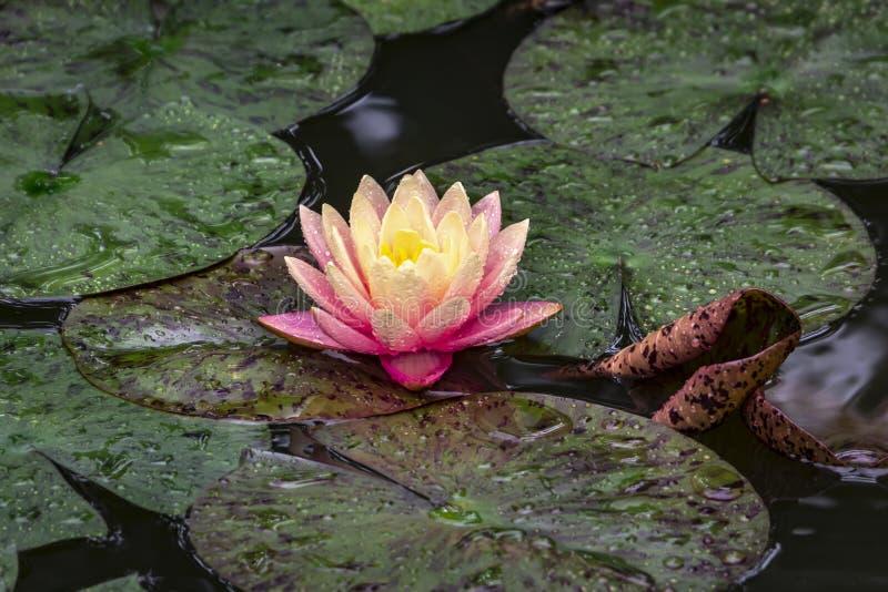 Magia de la mañana de la puesta del sol de la naranja del ` s de Perry del lirio de agua Nymphaea en la charca en un fondo de hoj imagen de archivo libre de regalías