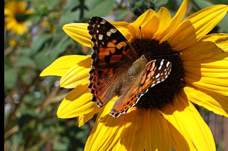 Magia del girasol de la mariposa de Taos foto de archivo