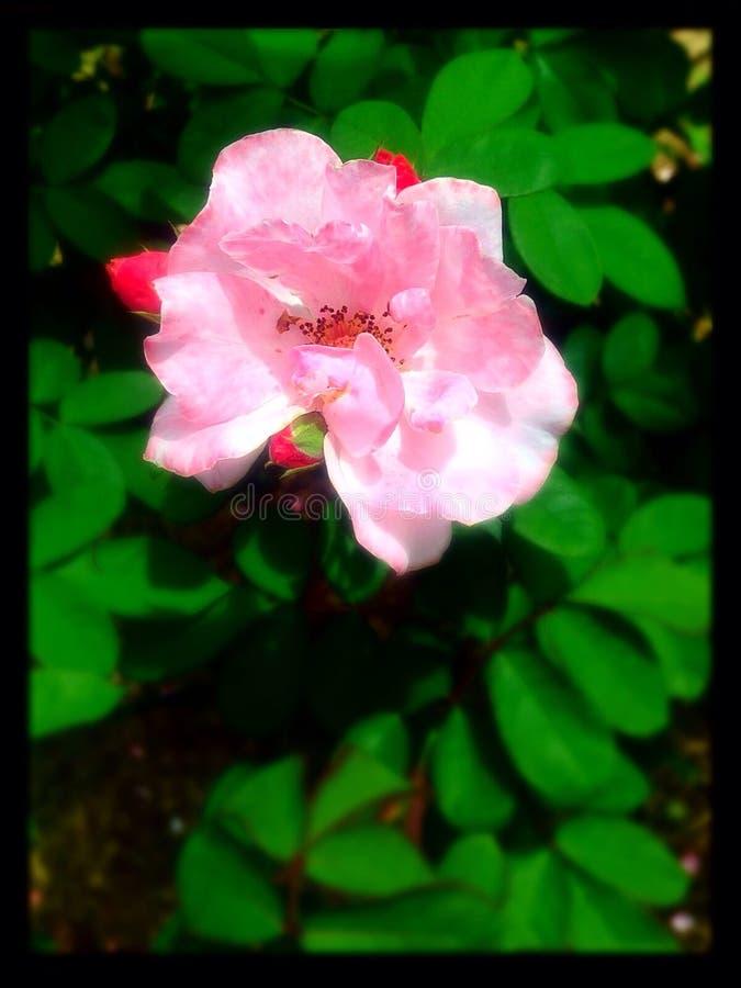 Magia en una flor foto de archivo libre de regalías
