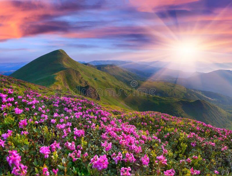 Magia różowy różanecznik kwitnie w górach obraz royalty free