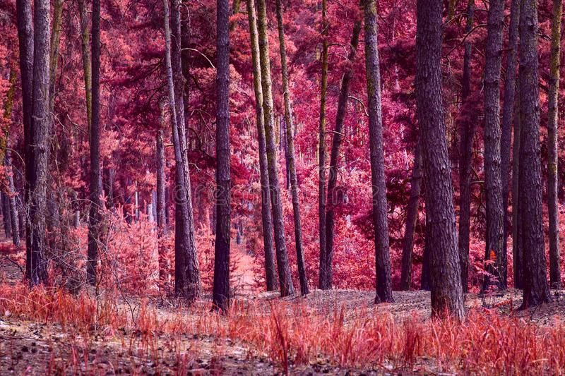 Magic of autumn nature is a brightly colored fantastic pine forest stock photography