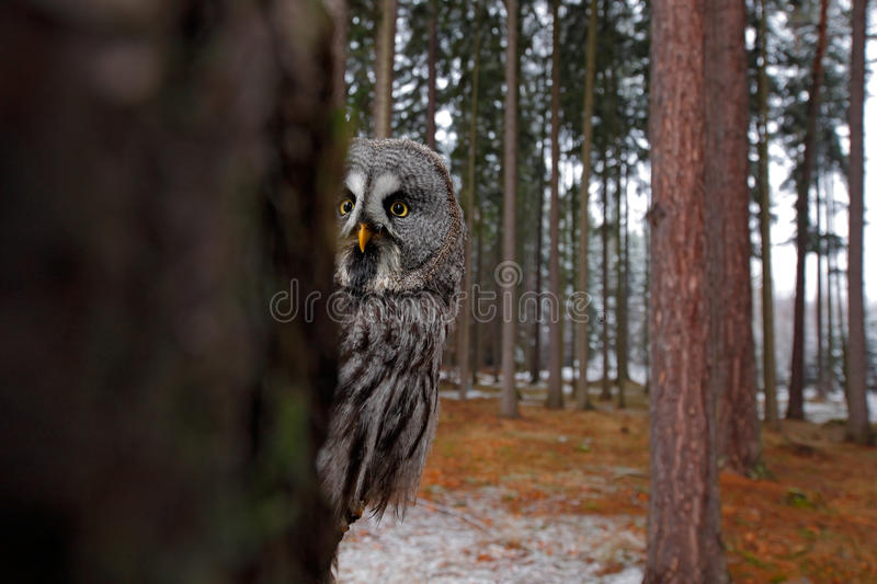 Magic bird Great Gray Owl, Strix nebulosa, hidden of tree trunk with spruce tree forest in backgrond, wide angle lens photo stock image