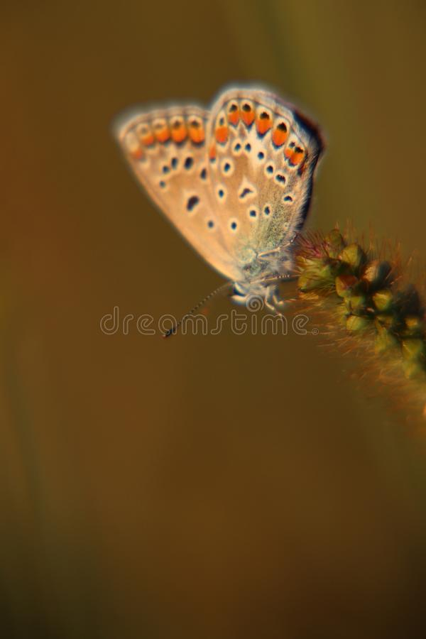 Magic butterfly evening light. Magic butterfly in evening light. Beautiful colours. small butterfly. Nature of insects. blue, green, browm stock image