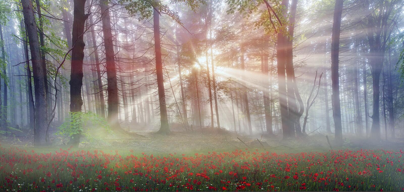 Magic Carpathian forest at dawn. Filled with the gentle rays of the sun in a misty morning haze. Alpine miracle available to anyone who at the dawn Take a walk royalty free stock photo
