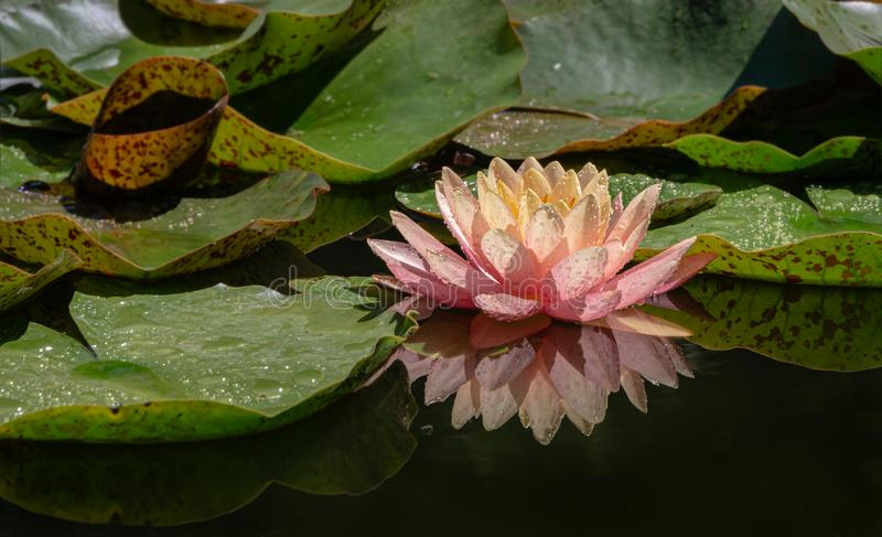 Magic close-up of water lilies or lotus flowers Perry`s Orange Sunset with spotty leaves in garden pond. Copy space for text using as natural flower landscape royalty free stock photography