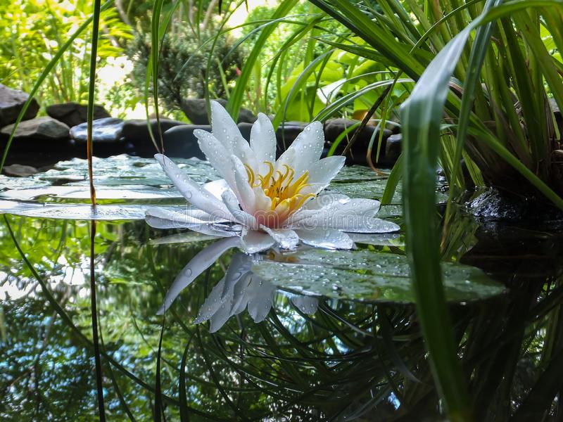 Magic close-up of white water lily or lotus flower Marliacea Rosea reflected in pond water mirror. Petals of Nymphaea lily in wate. R drops. Water lily on royalty free stock images