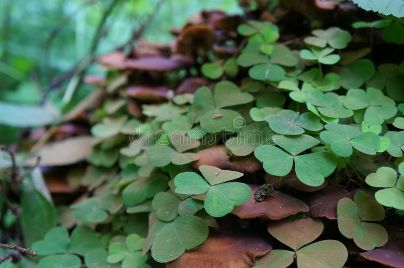 magic clover in the forest of Russia royalty free stock image