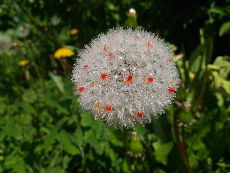 Magic Dandelion stock images