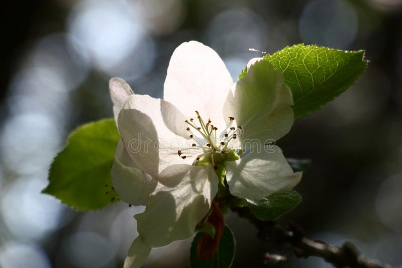 Magic flower of an apple-tree. stock image